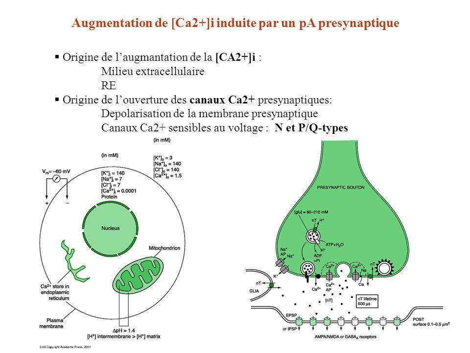 Augmentation de [Ca2+]i induite par un pA presynaptique